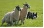 Roundstone Connemara Pony, Dog & Sheep Show